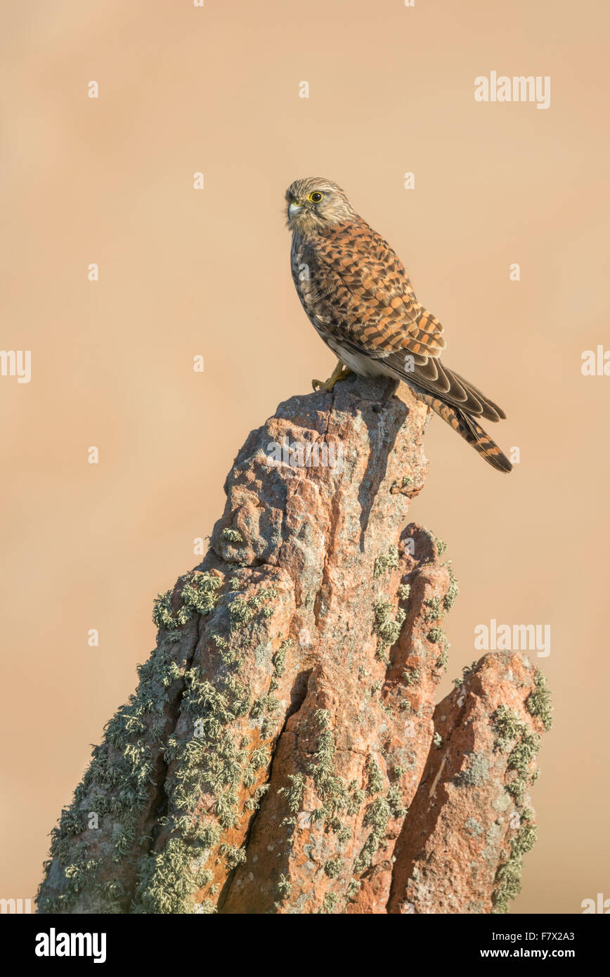 Kestrel (Falco tinnunculus) perched on a granite rock, Jersey, Channel Islands, UK - Stock Image