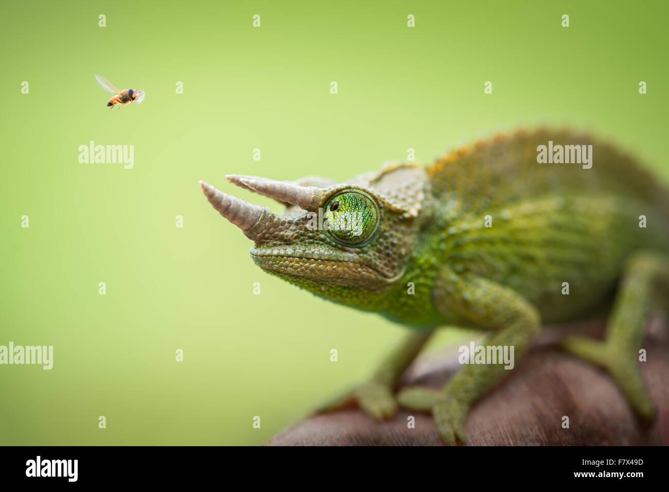 Hoverfly flying past a Jackson's chameleon (trioceros jacksonii) Stock Photo