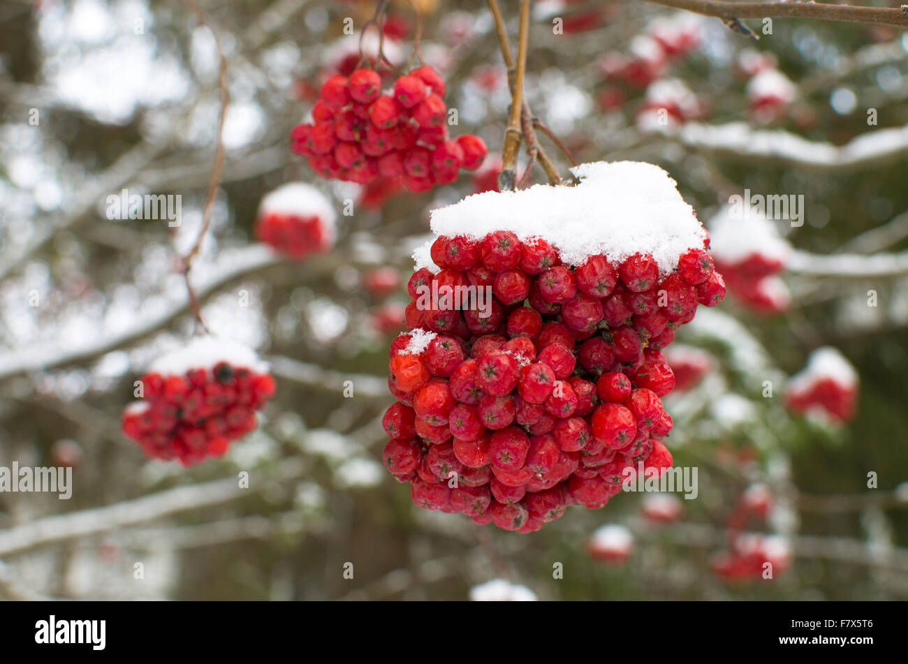 mountain ashes red a bush in snow Stock Photo