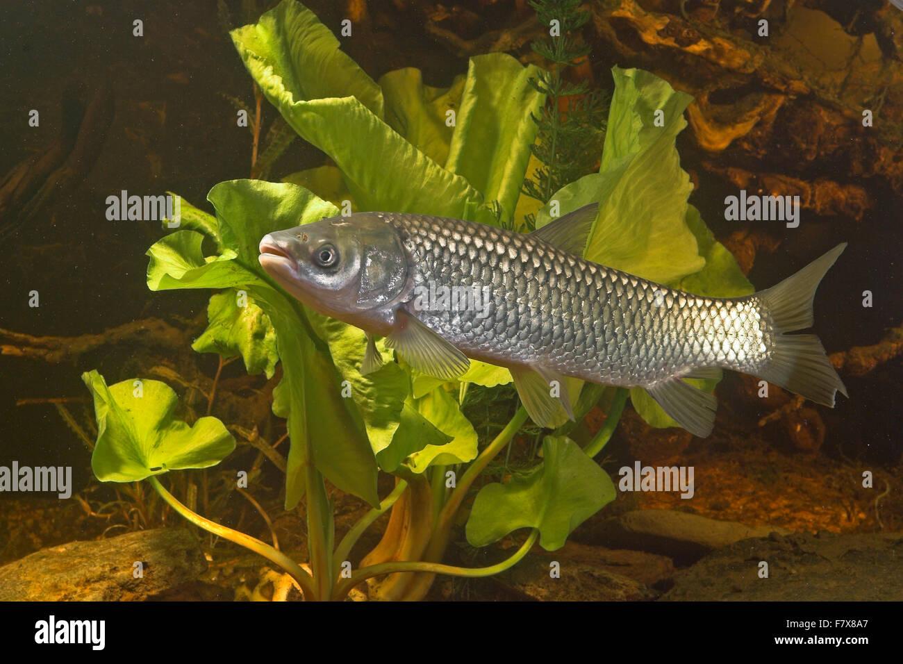 Grass Carp Graskarpfen Grasfisch Gras Karpfen Gras Fisch Weisser