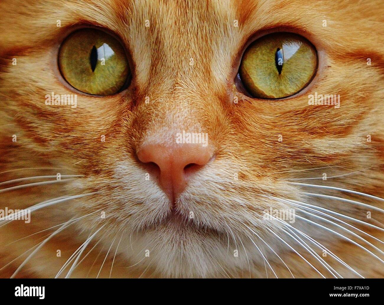 Close-up portrait of a ginger tabby cat with green eyes - Stock Image