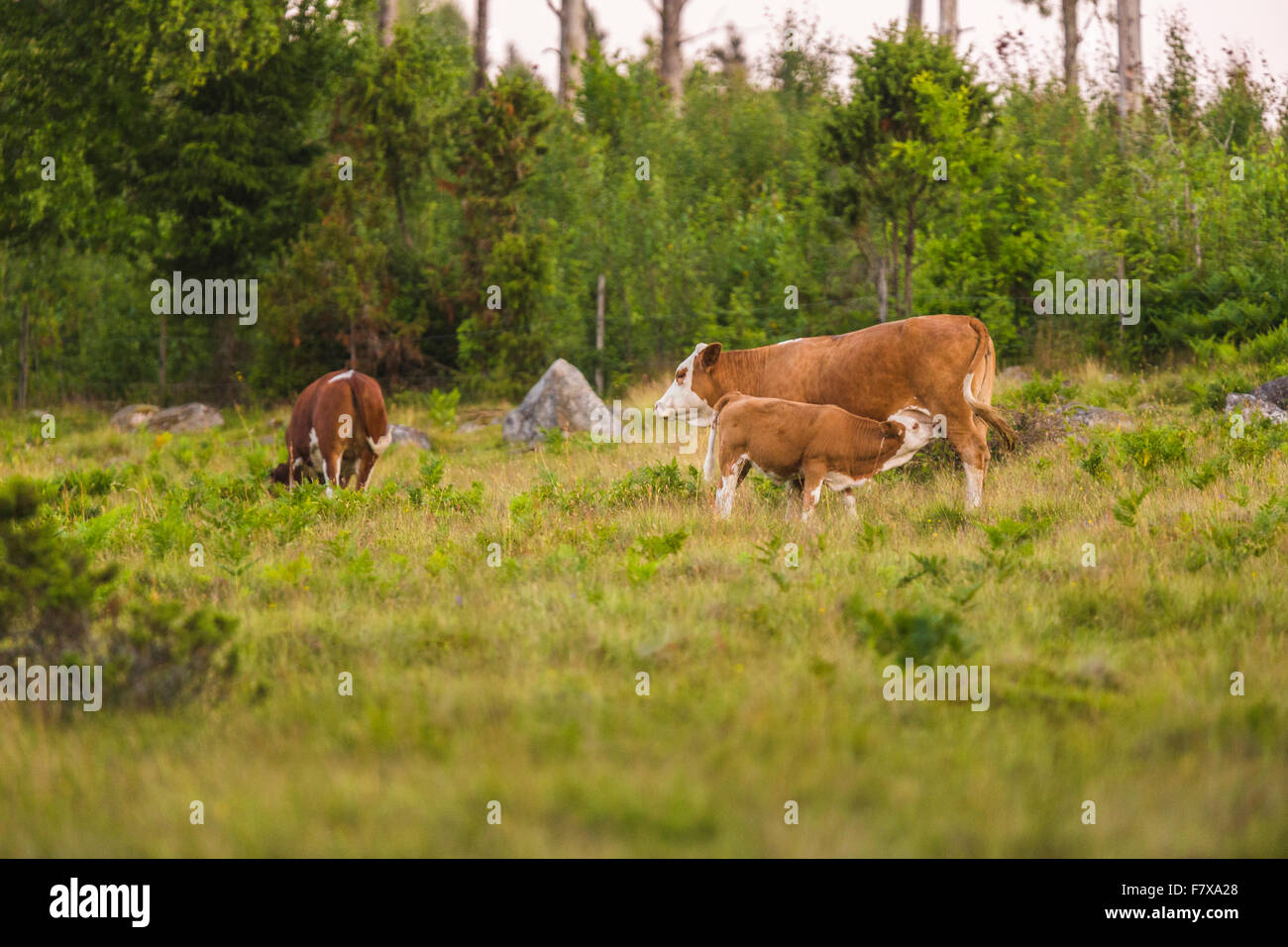 Calf sucking milk from cow - Stock Image