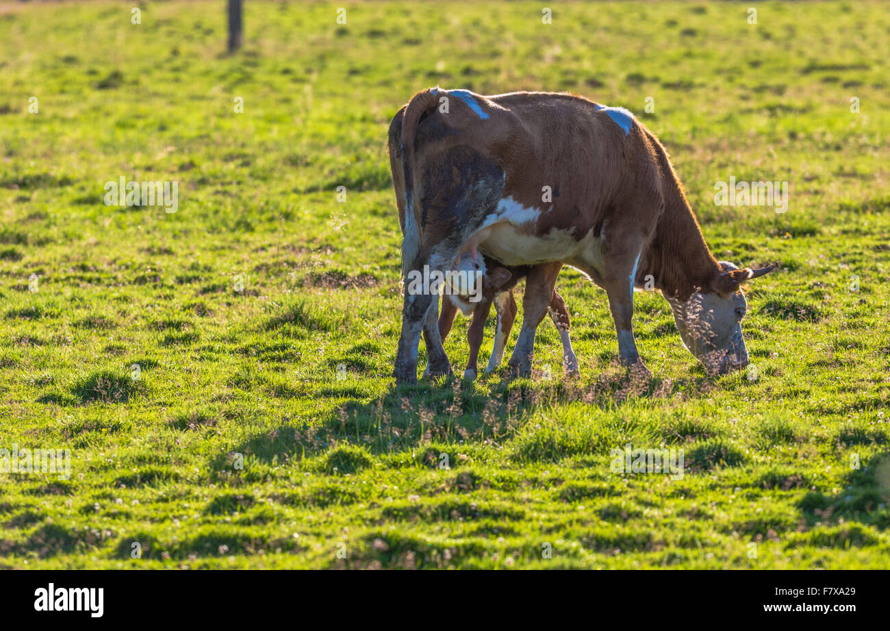 Calf sucking milk from its mother cow - Stock Image