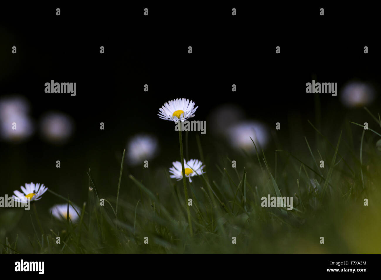 Lawn daisy, Bellis perennis, growing on a lawn in south of Sweden - Stock Image