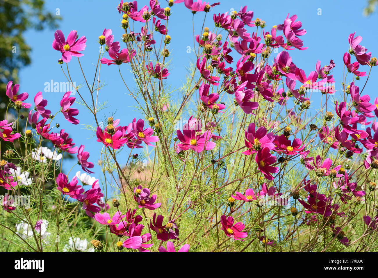 Magenta flowers and green foliage contrasting against a deep blue sky. - Stock Image