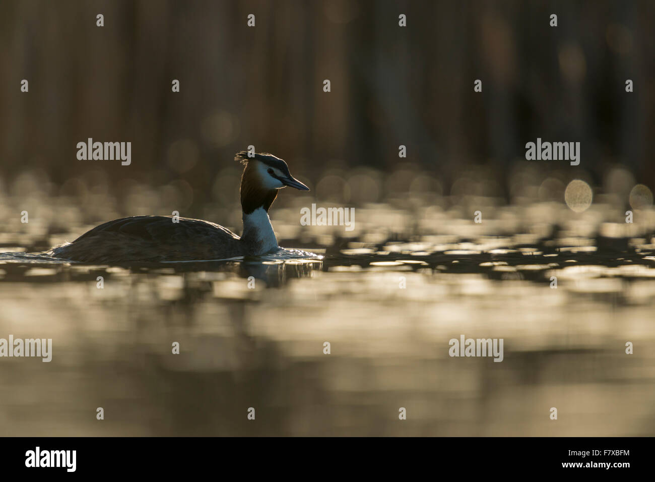 Great Crested Grebe / Great crestie ( Podiceps cristatus ) in between nice light reflections on water surface, backlight - Stock Image