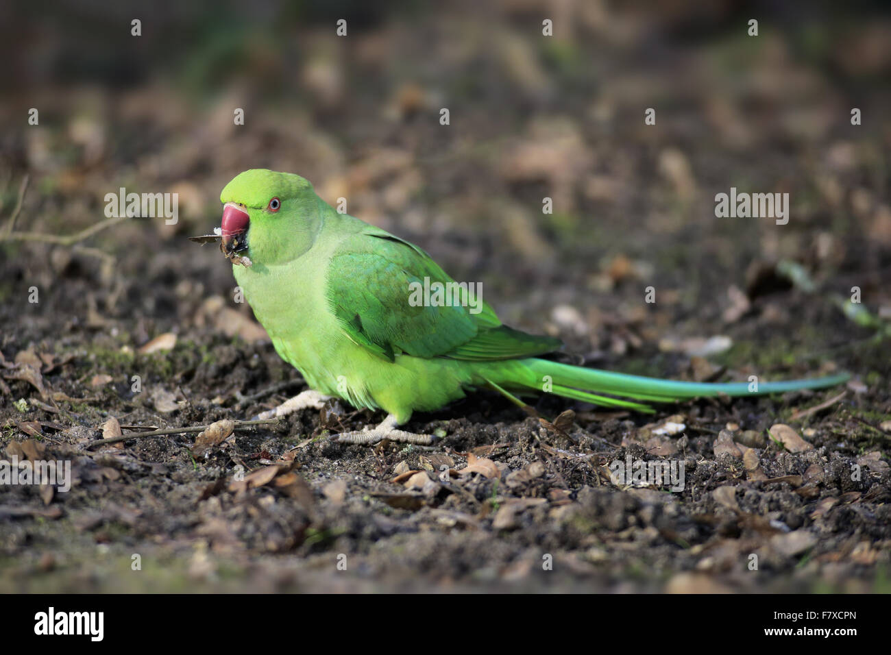 Rose-ringed Parakeet (Psittacula krameri) introduced species, adult female, feeding on fallen seeds, Mannheim, Baden Stock Photo