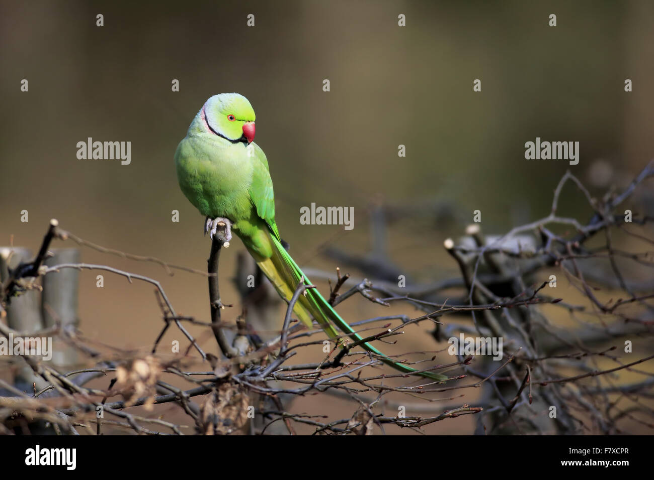 Rose-ringed Parakeet (Psittacula krameri) introduced species, adult male, perched on hedge, Mannheim, Baden-Wurttemberg, Stock Photo
