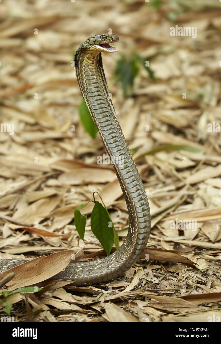 King Cobra (Ophiophagus hannah) adult, rearing up with