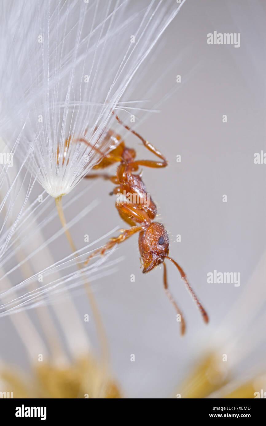 Red Ant (Myrmica rubra) adult worker, in dandelion seedhead, Powys, Wales, April - Stock Image