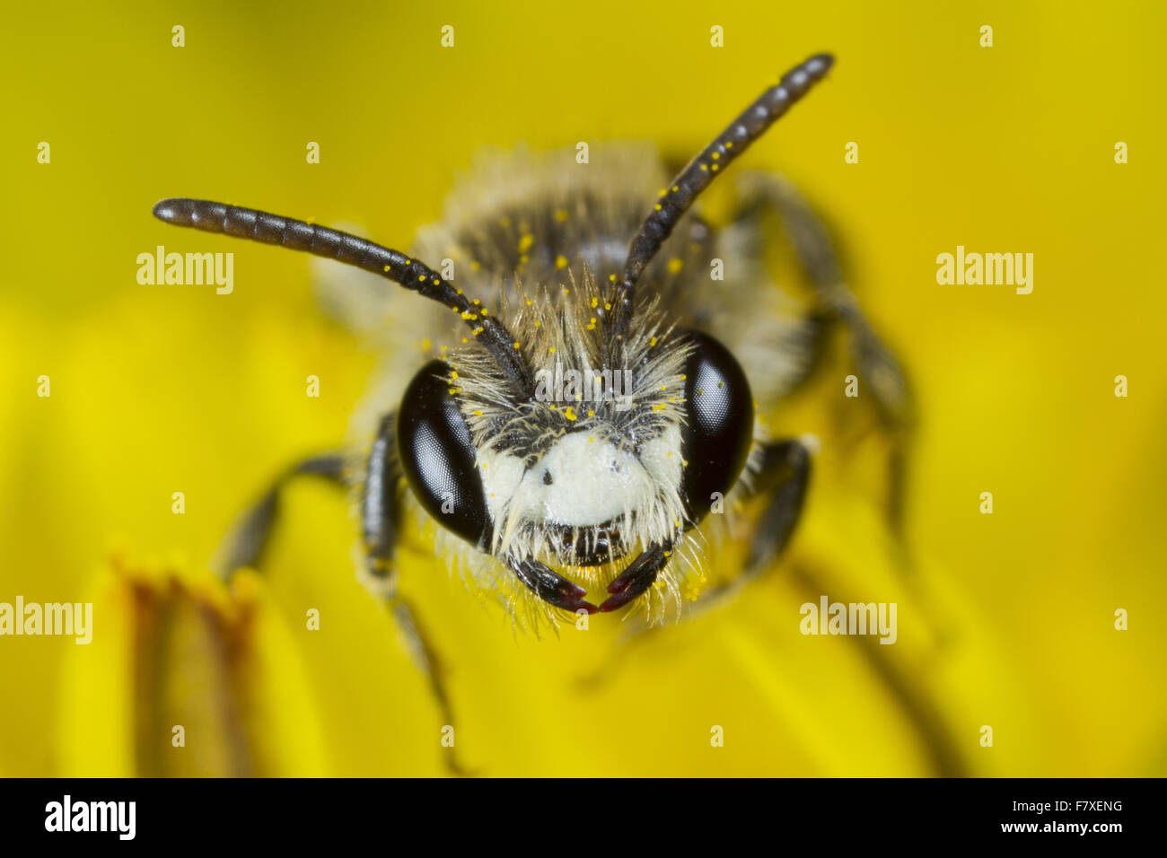 Red-girdled Mining Bee (Andrena labiata) adult male, in dandelion flower, Powys, Wales, April - Stock Image
