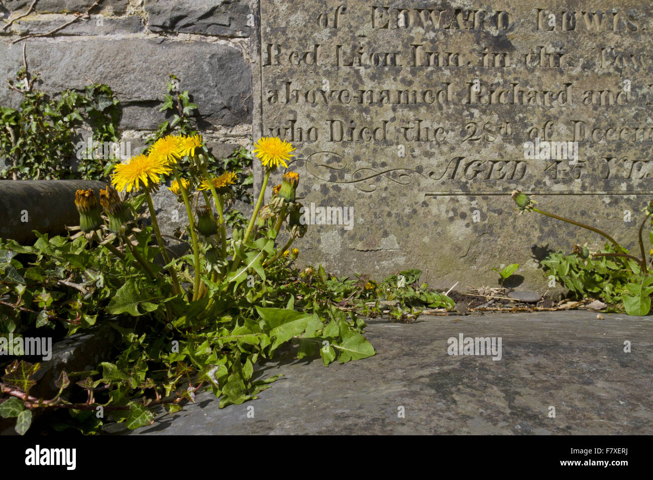 Common Dandelion (Taraxacum officinalis) flowering, growing between stone slab beside gravestone in church graveyard, - Stock Image