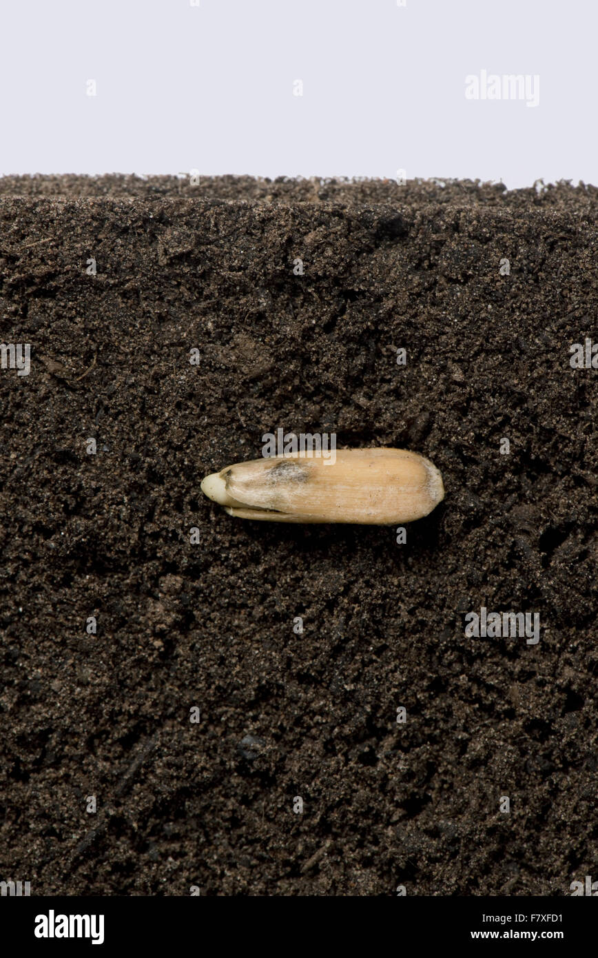 Sunflower seed in its seed coat or pericarp below soil surface before germination and growth (series number 1) - Stock Image