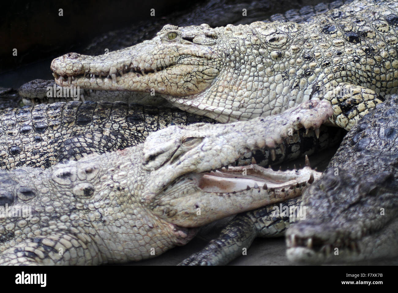 Medan, North Sumatra, Indonesia. 3rd Dec, 2015. Crocodiles congregate at feeding time at the crocodile farm. The - Stock Image