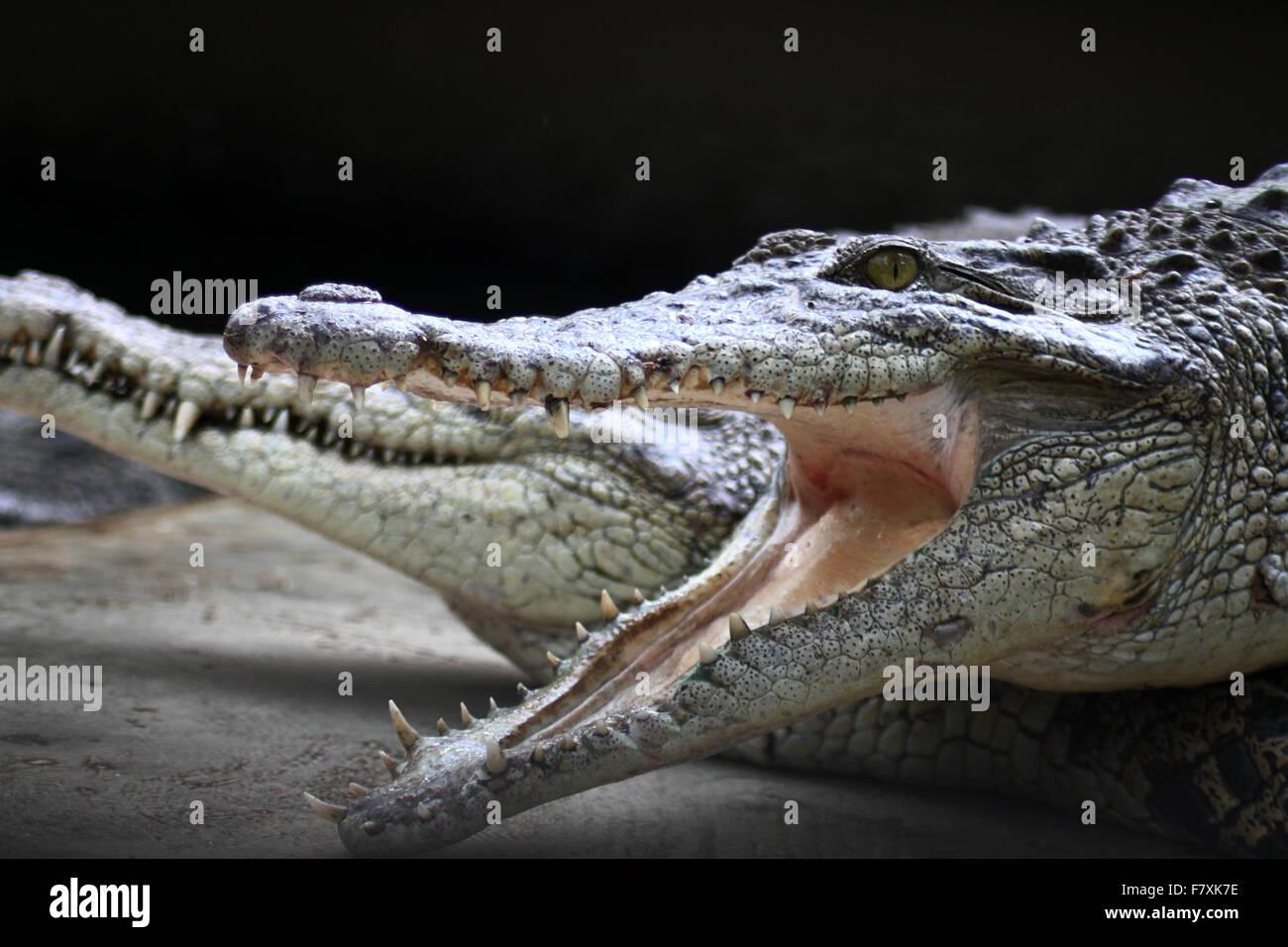 Medan, North Sumatra, Indonesia. 3rd Dec, 2015. Crocodiles congregate at feeding time at the crocodile farm. The - Stock Image