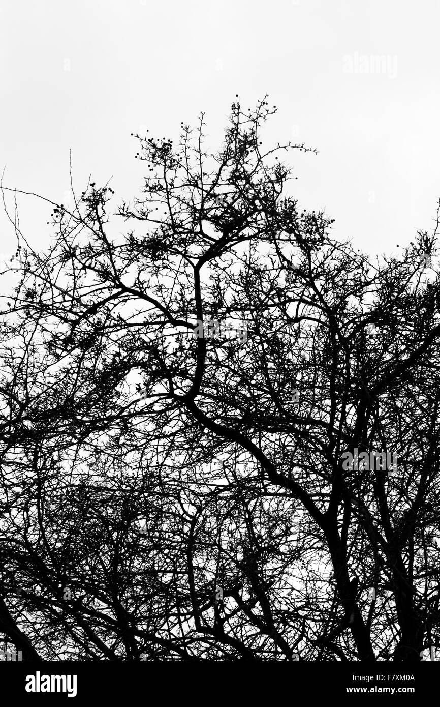 Hawthorn trees silhouetted in winter, black and white image - Stock Image