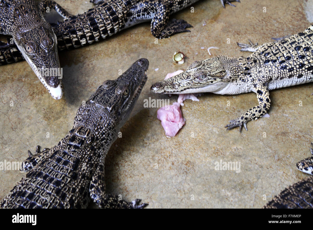 Crocodile newborn looks at mealtime at the crocodile farm in Medan, North Sumatra, Indonesia, December 3, 2015. - Stock Image
