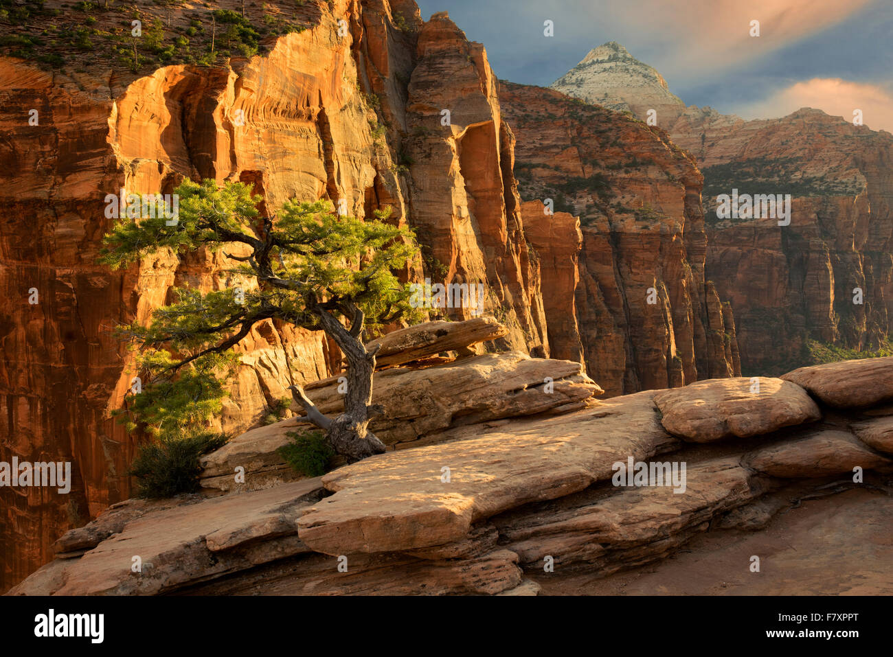 Pine tree at sunset. Canyon Overlook. Zion National Park, Utah - Stock Image
