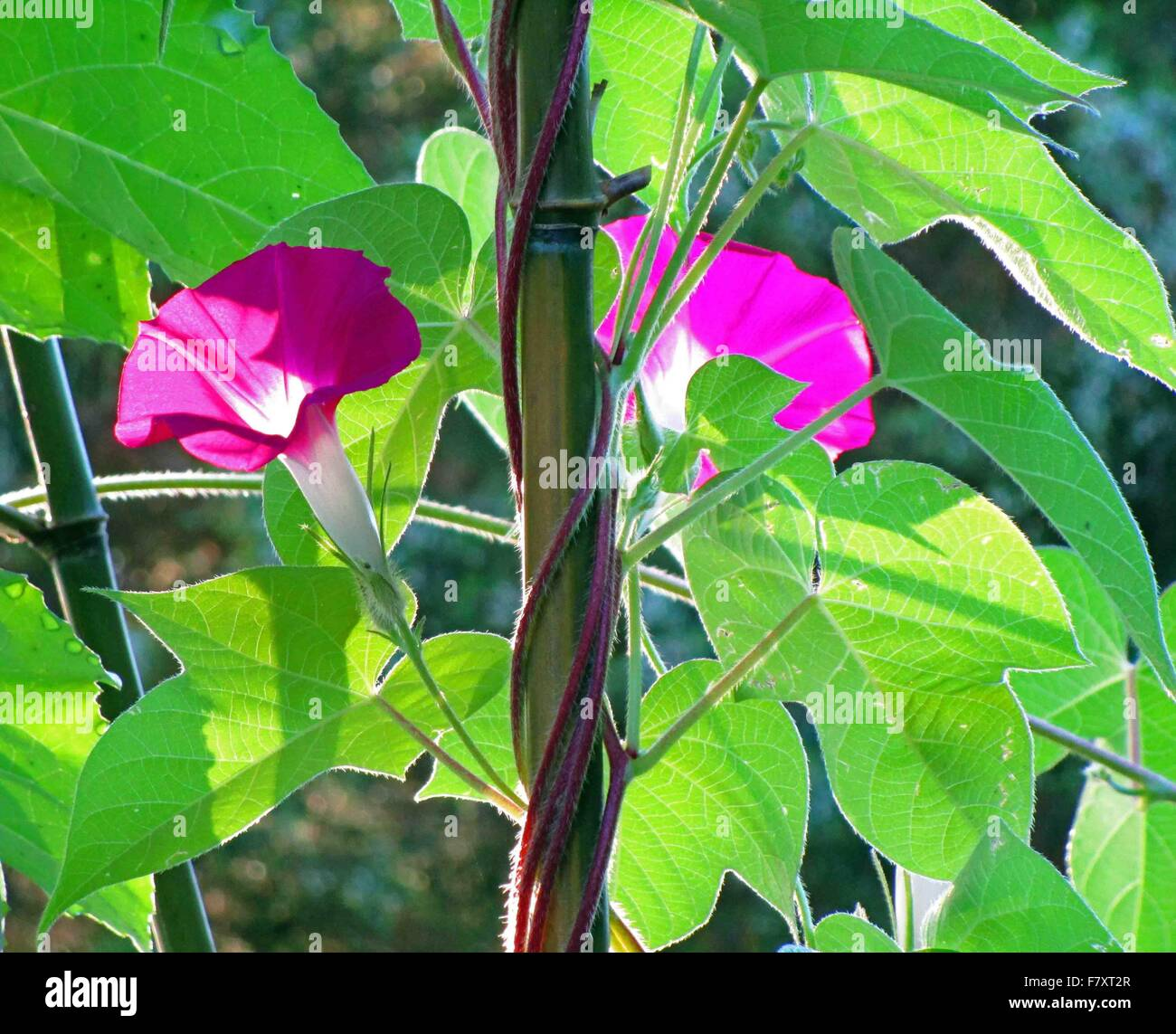Digital color photograph of morning glories - Stock Image