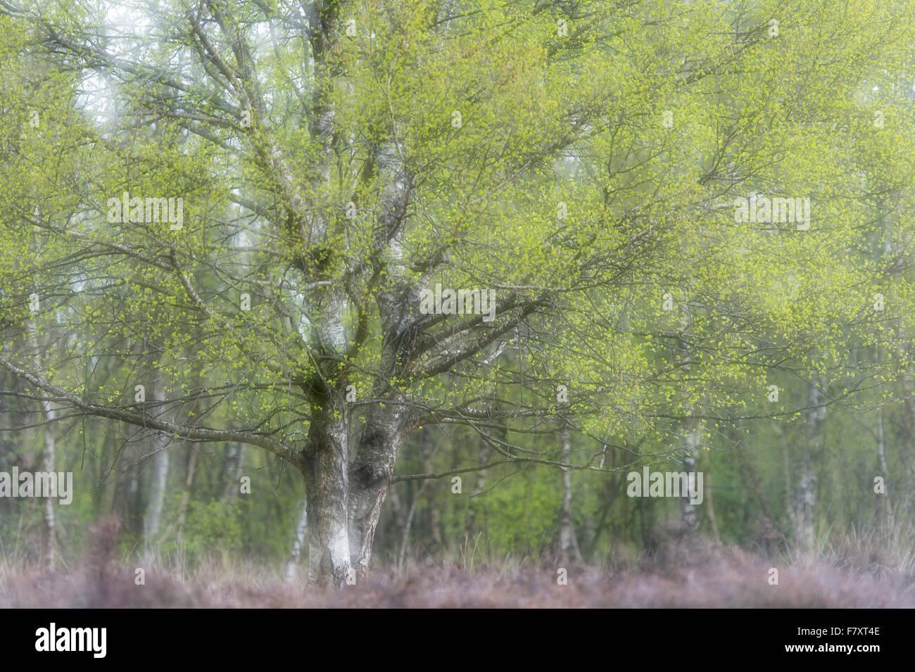 birch tree in moor, lower saxony, germany - Stock Image