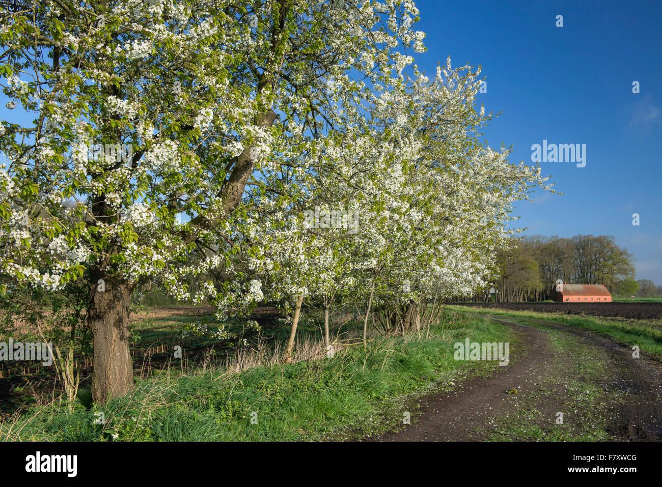 blooming cherry trees in bakum, vechta district, niedersachsen, germany - Stock Image