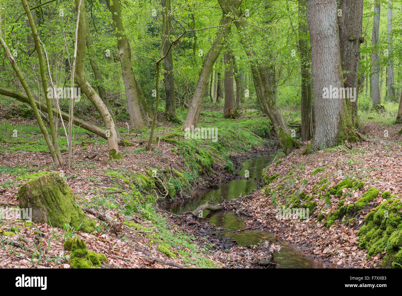 stream at herrenholz, lutten, goldenstedt, vechta district, oldenburger münsterland, lower saxony, germany - Stock Image