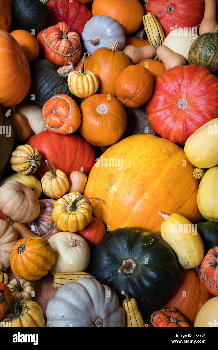 A variety of colourful pumpkins marrows and squashes large and small - Stock Image
