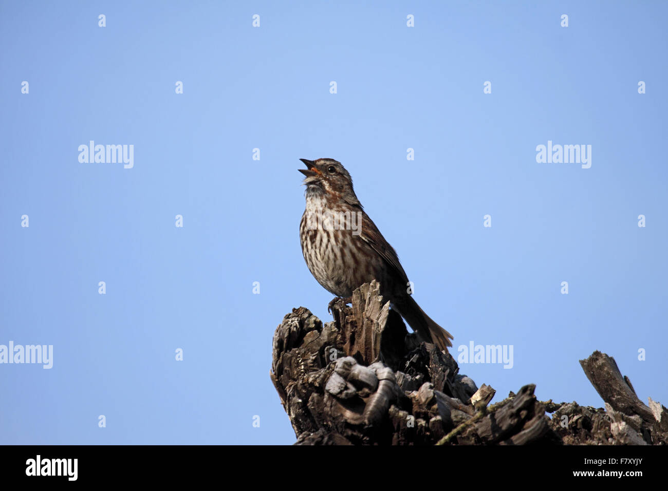Song sparrow singing in Alberta Canada Stock Photo: 90946883
