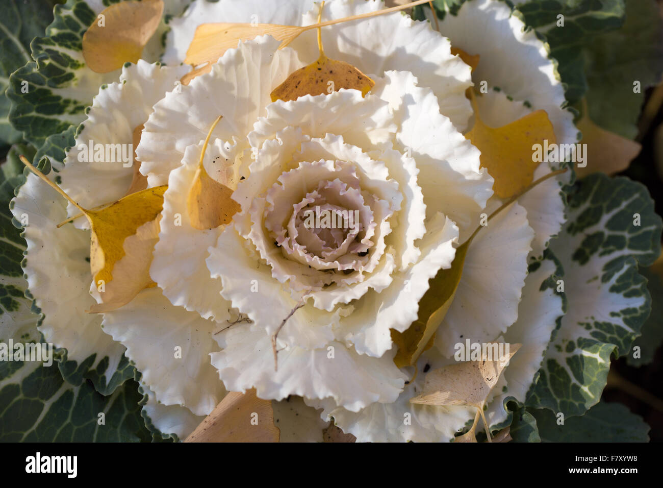 Ornamental Cabbage Or Flowering Kale Blooming In Autumn Stock Photo