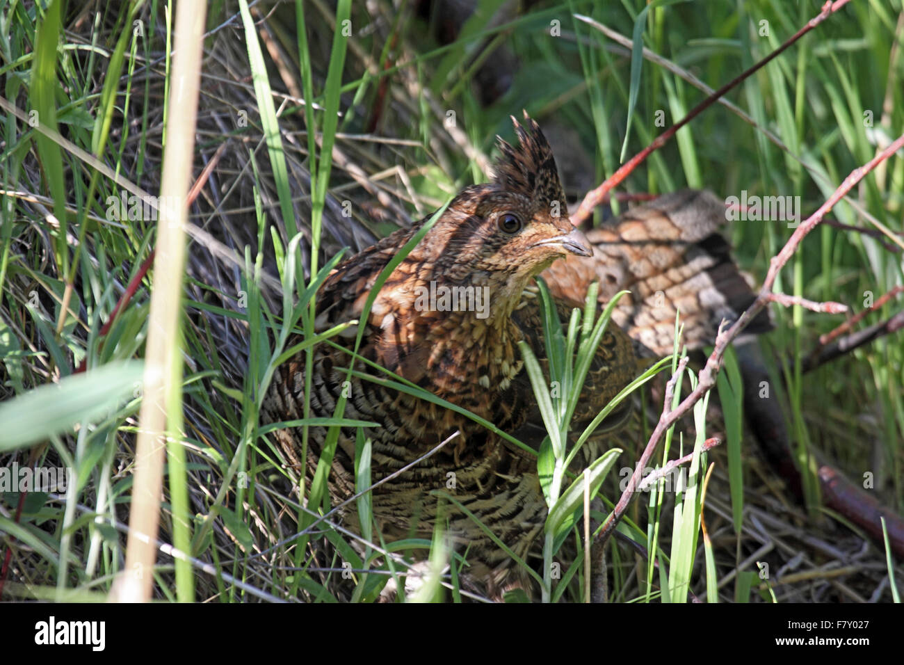 Ruffed grouse red morph female in concealment in Western Canada - Stock Image