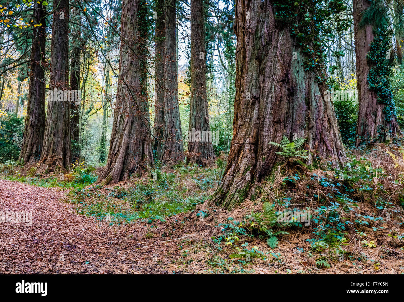 Giant Trees  Redwood Grove in Ashton Hill Plantation near Bristol UK - Stock Image