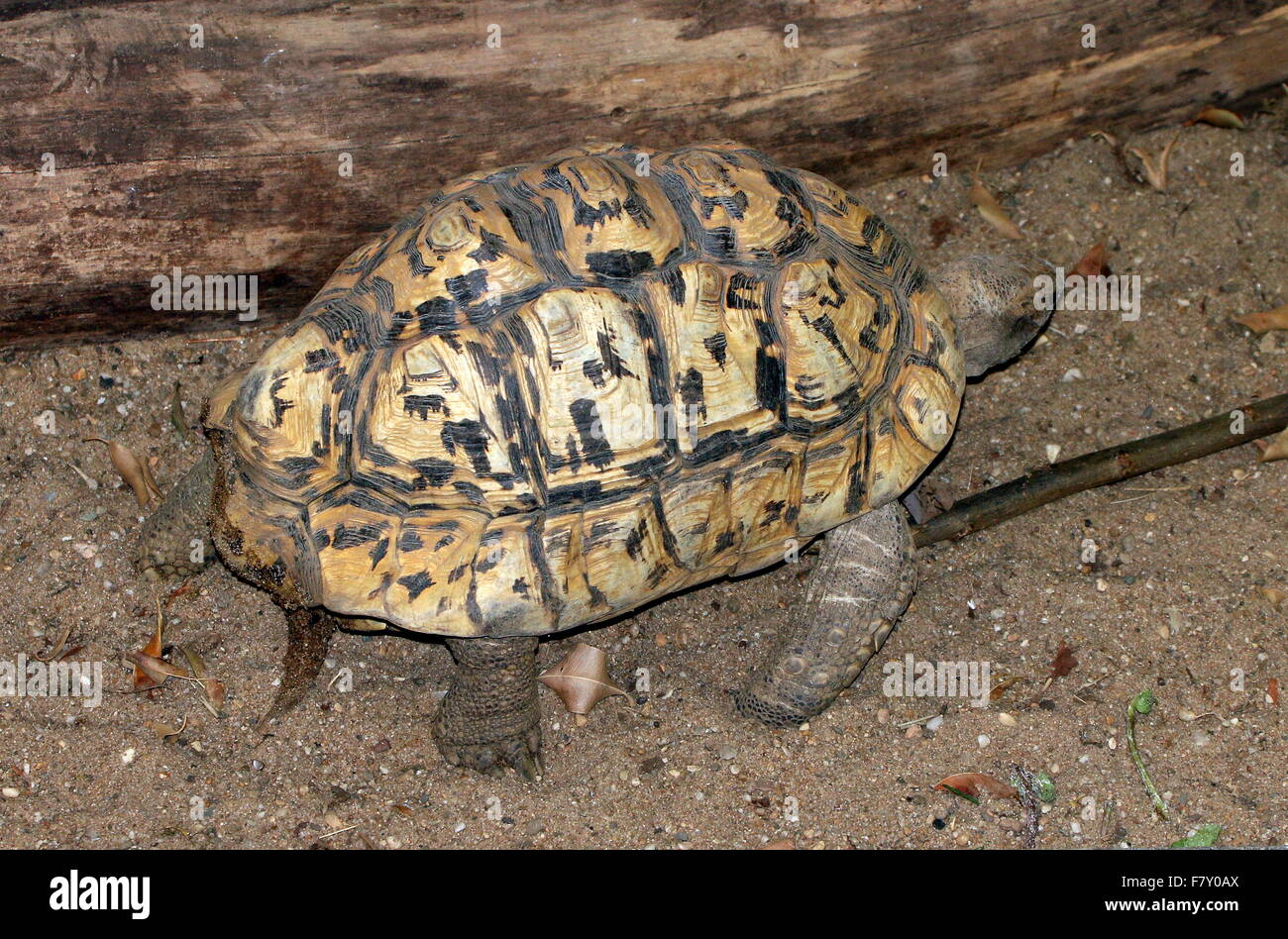 East African Leopard tortoise (Stigmochelys pardalis), native on savannas from Sudan to the Southern cape - Stock Image