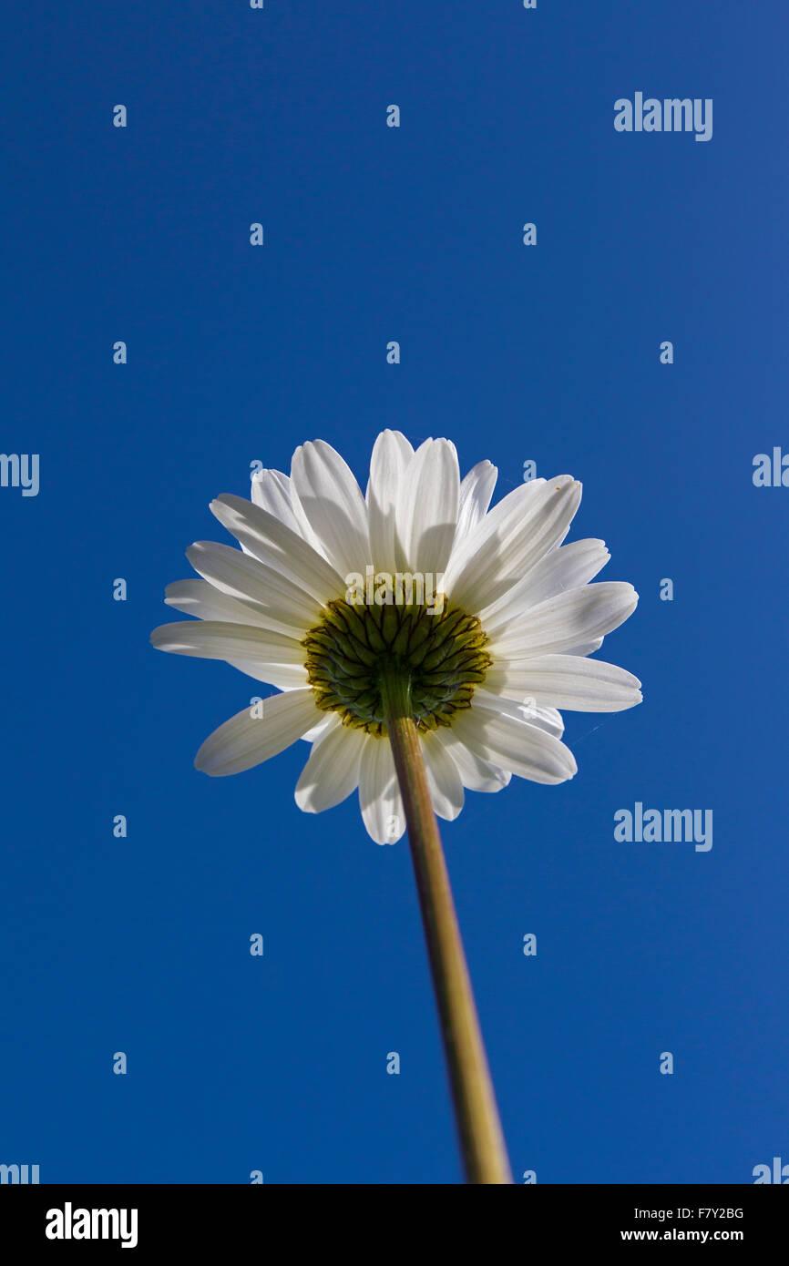 Ox-eye daisy / oxeye daisy (Leucanthemum vulgare / Chrysanthemum leucanthemum) in flower against blue sky in summer Stock Photo