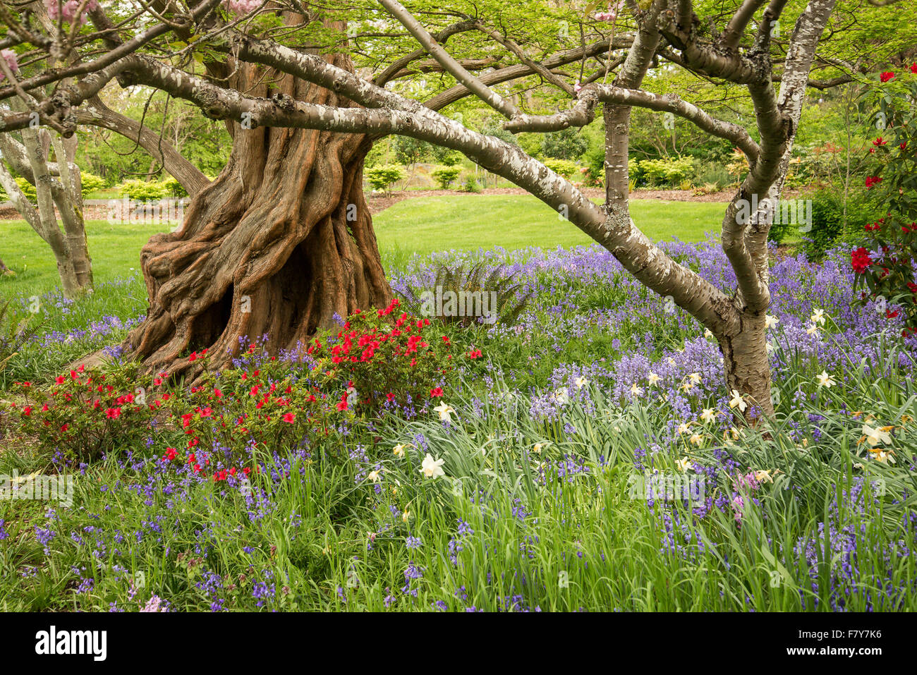 Dawn Redwood tree garden flowers, Beacon Hill Park, Victoria, British Columbia, Canada - Stock Image