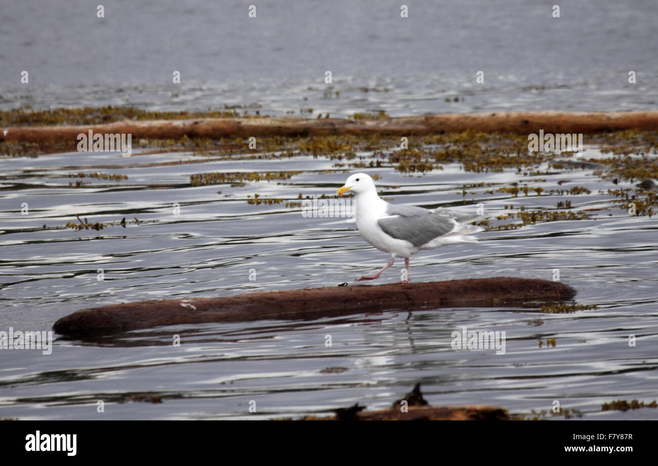 Glaucous winged gull in Western Canada - Stock Image