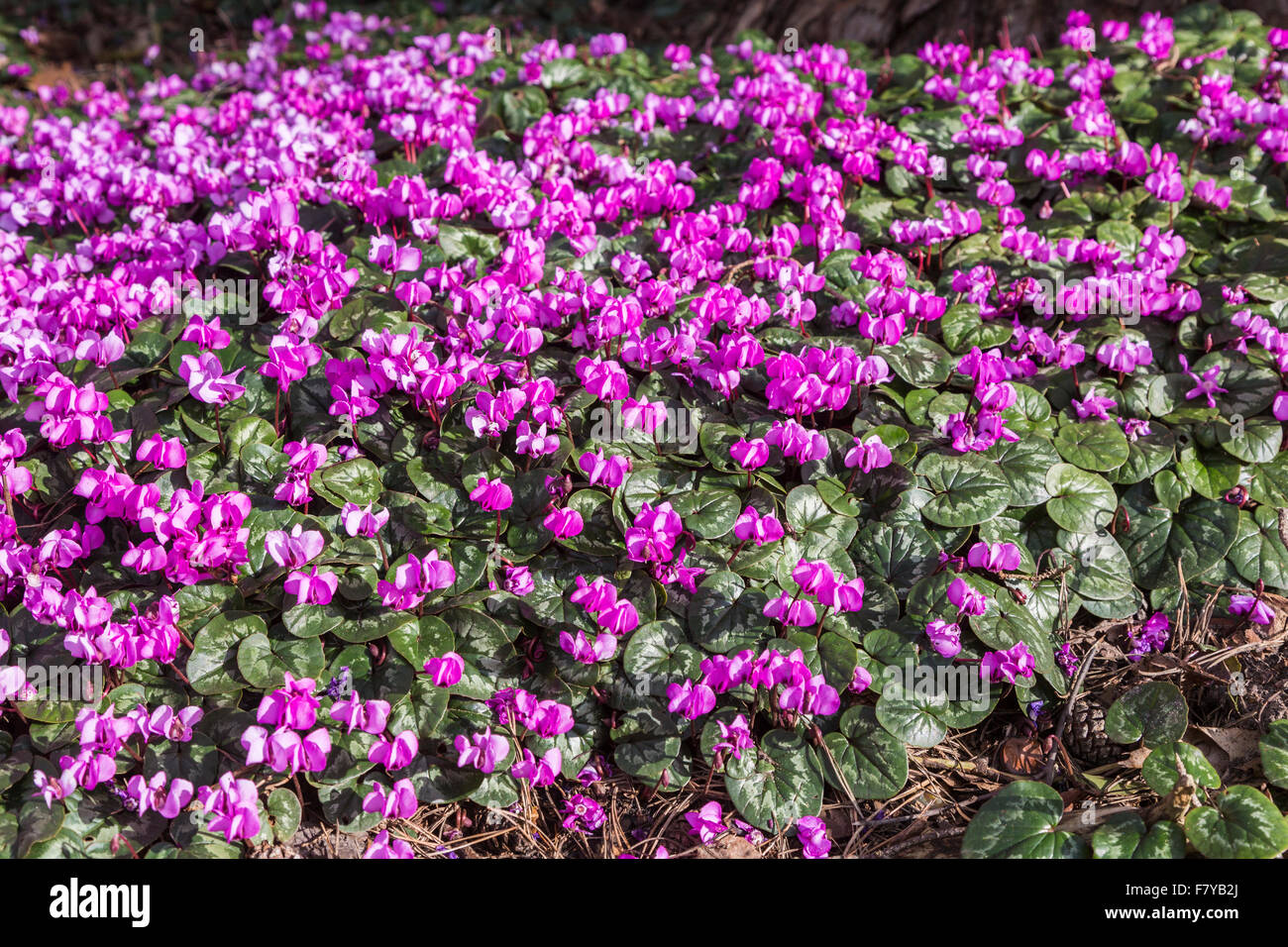 Carpet Of Herbaceous Perennial Cyclamen Coum Flowering In Early
