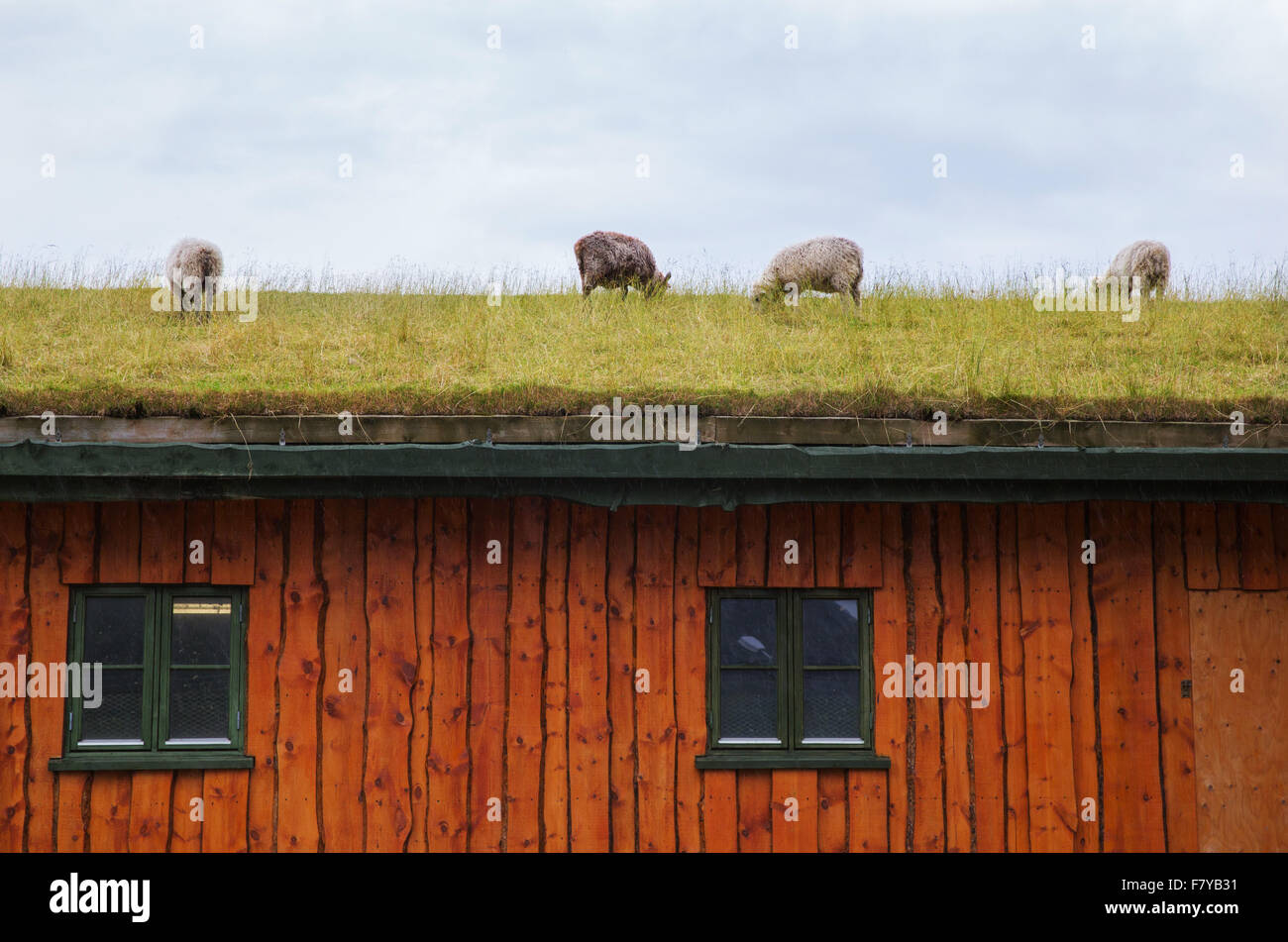 Sheep grazing on the grass roof of a wooden house in the Lofoten Islands of Norway - Stock Image