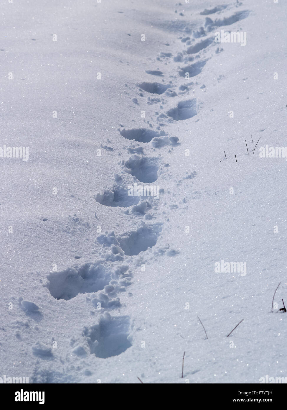 Footprints in deep white snow, winter, UK - Stock Image