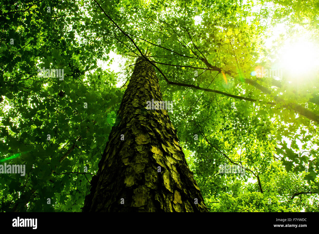 Shot from below looking upward at a tree and through the green leaves, with some sun flare - Stock Image