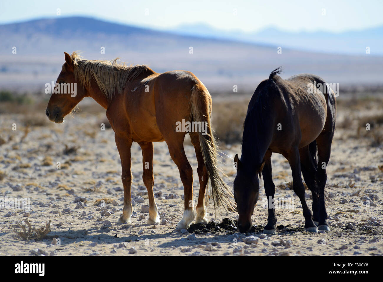 Wild desert horses at Garub near Aus, Namibia - Stock Image