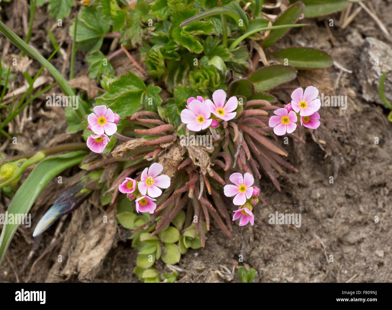 Pink Rock Jasmine, Androsace carnea, in flower at 2500m on acid soil, french Alps. Stock Photo