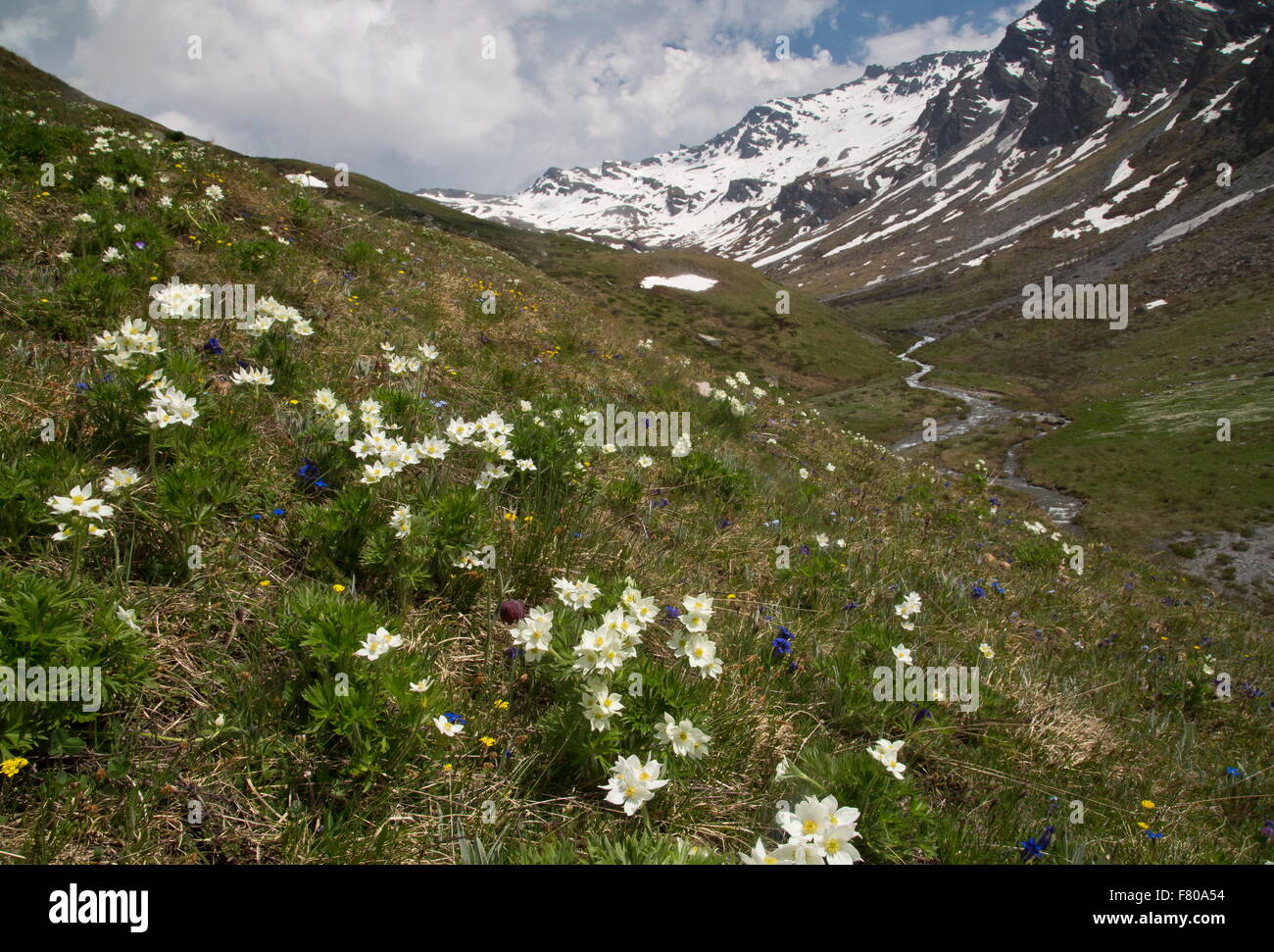Narcissus-flowered anemone, with trumpet gentians and fritillary in flower in high pasture on the Col d'Agnel, - Stock Image