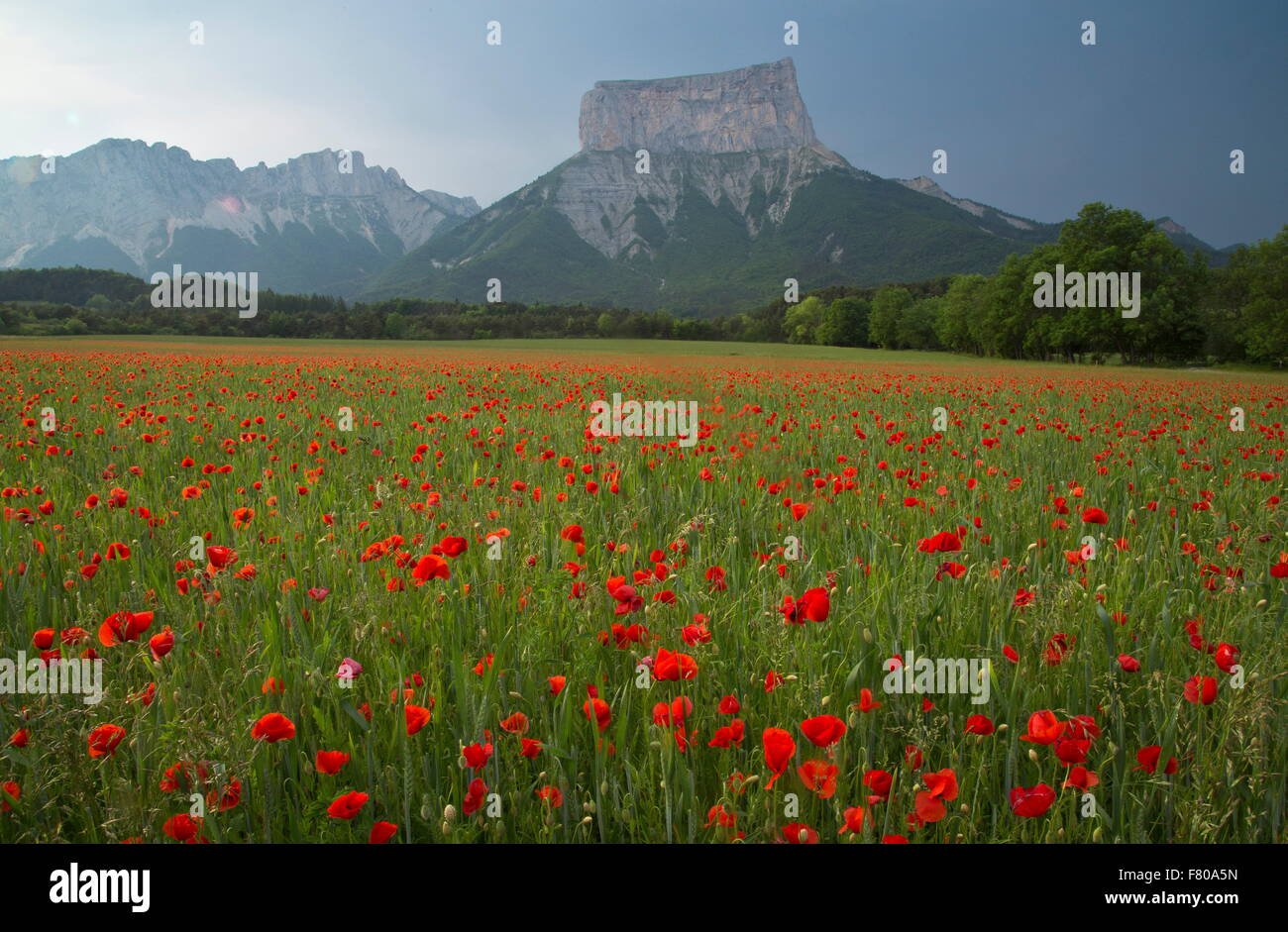 Common field poppies in front of Mont Aiguille, (2,085 m/6,841 ft ), Vercors, France. - Stock Image