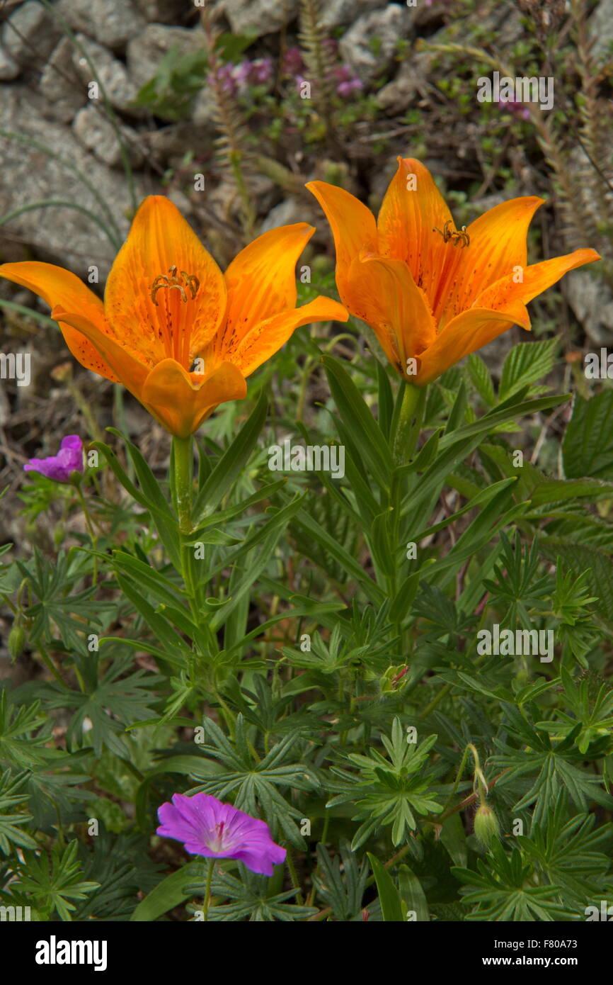 French alps orange flower stock photos french alps orange flower orange lily lilium bulbiferum var croceum in flower french alps stock izmirmasajfo