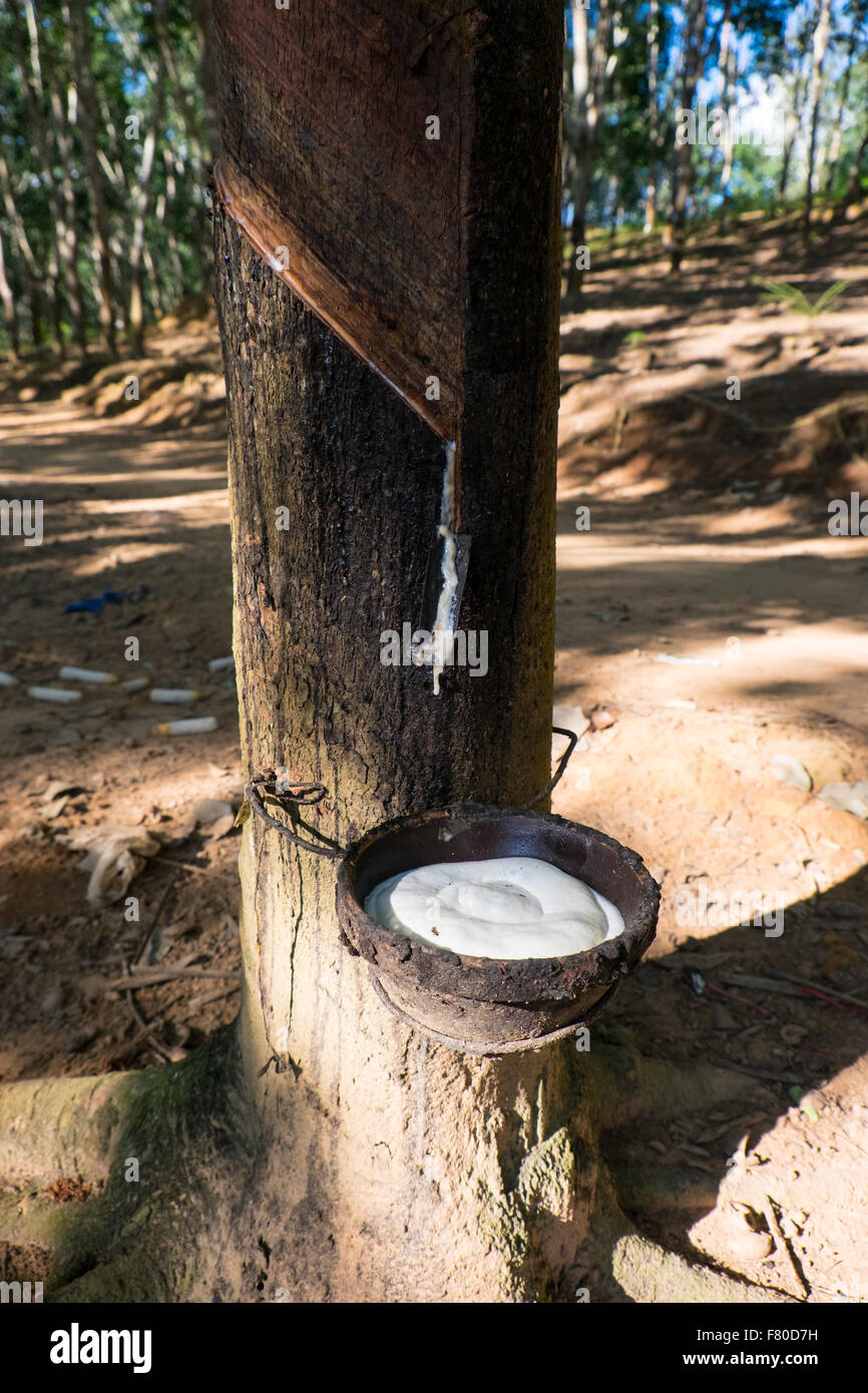 A Rubber Tree Bleeding Its White Liquid Sap Which Is A Raw Stock Photo Alamy