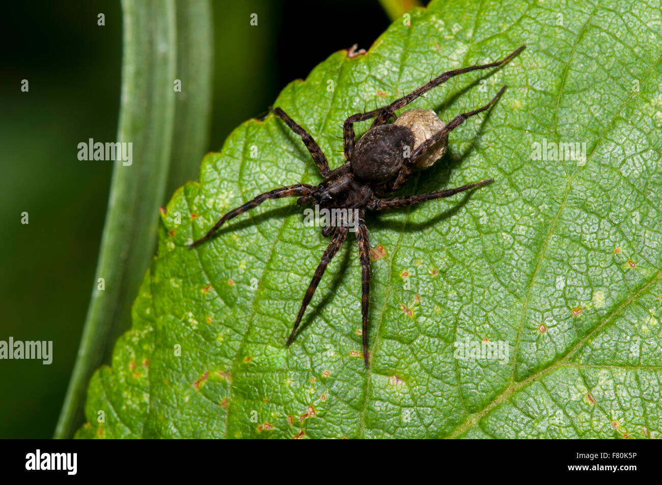 Common wolf-spider (Pardosa pullata) adult female with egg sac perched on a leaf at Vange Marsh, Essex. August. - Stock Image