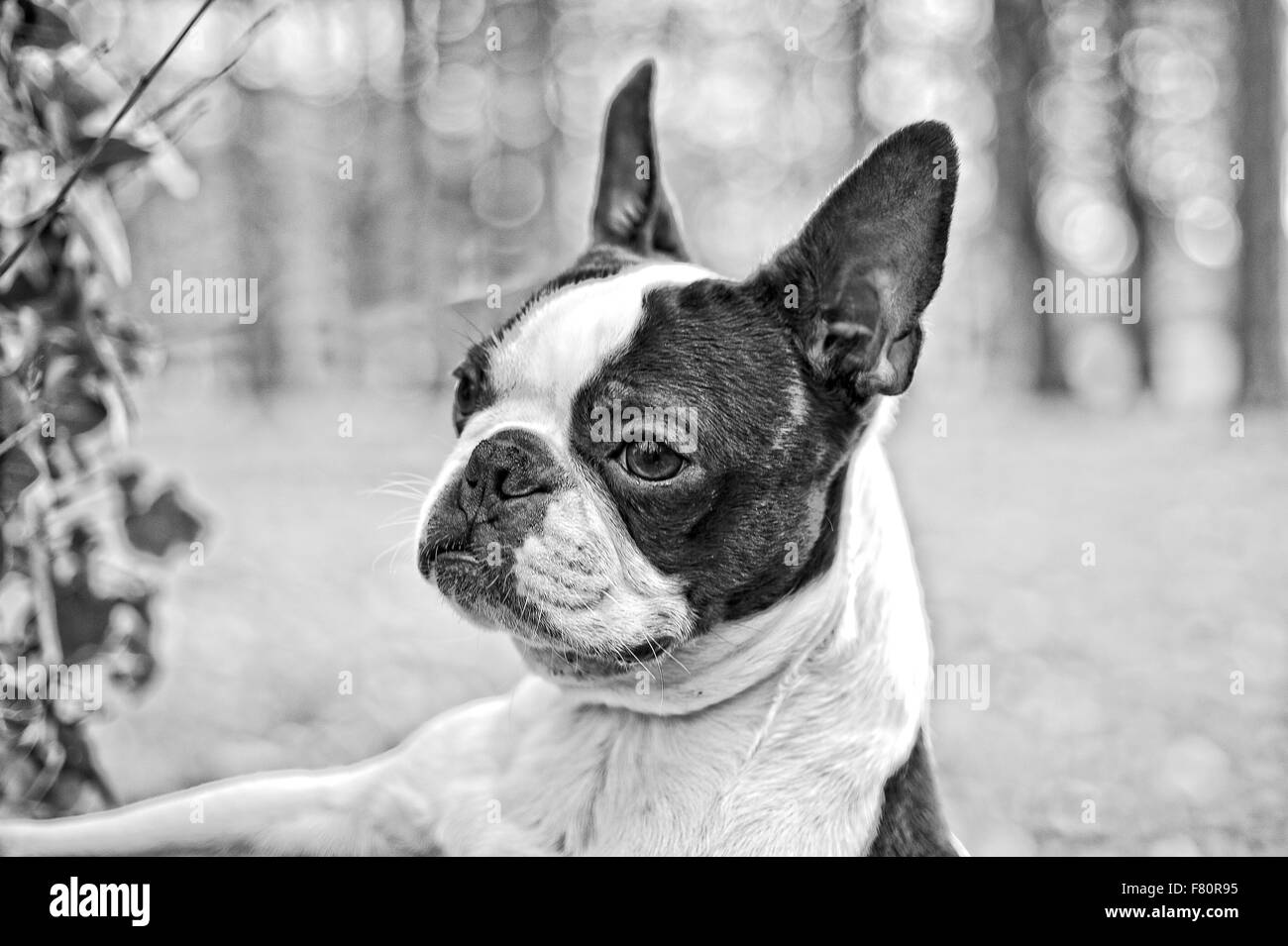 Boston terrier, bicolour dog in park with trees and grass - Stock Image