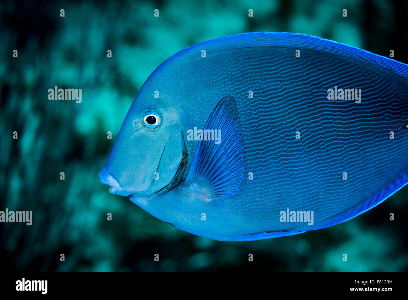 Blue tang fish underwater at Little Cayman - Stock Image