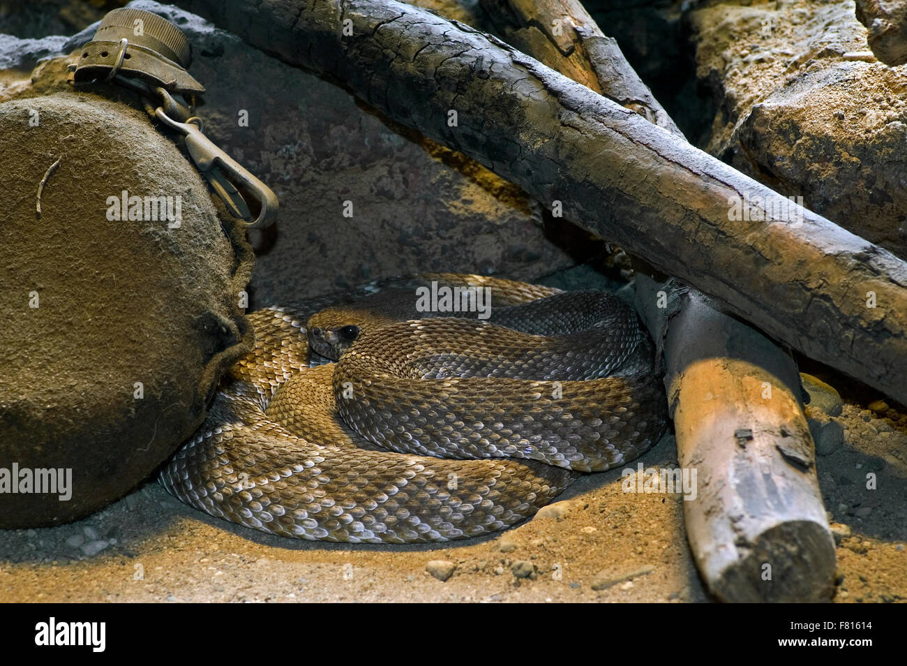 Red rattler / western diamond-backed rattlesnake (Crotalus ruber) resting curled up under woodpile of campfire, Stock Photo