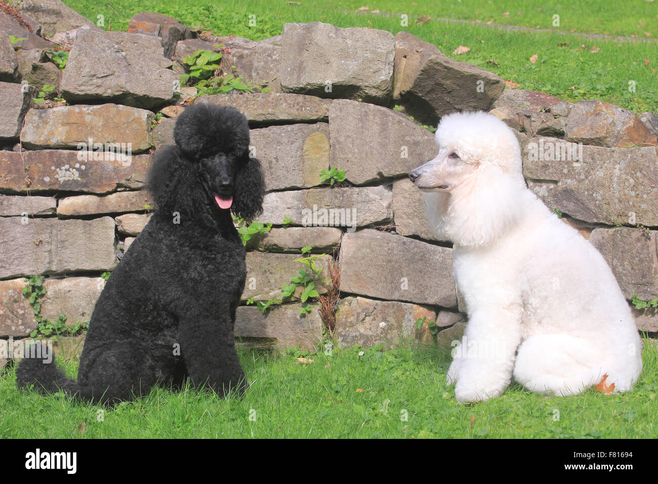 two poodles - Stock Image